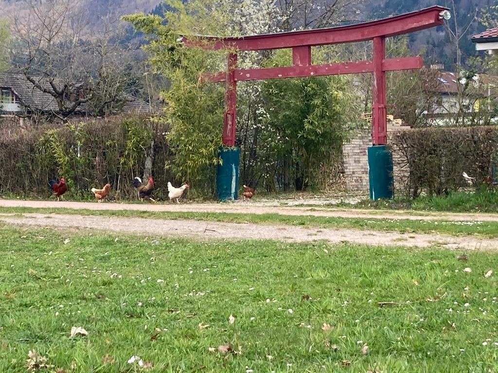 Hühner bei illegalem Yoga erwischt 😉